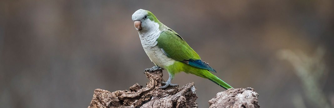 10 Best Talking Birds in the World