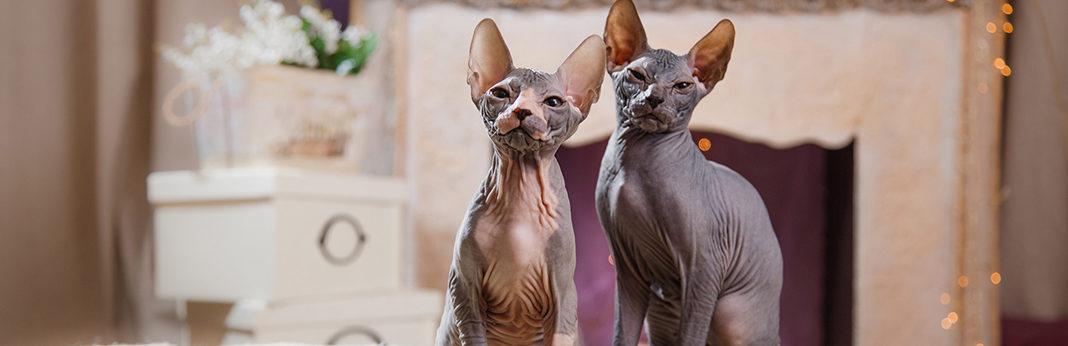 7 breeds of hairless cat