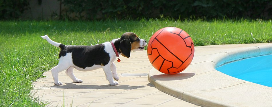 Beagle puppy with ball