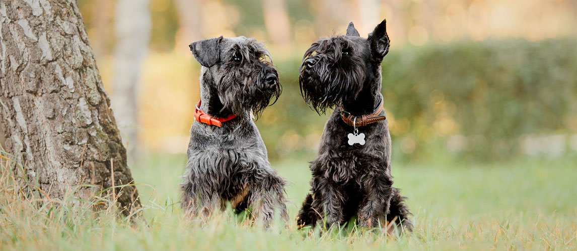 Best-Dog-Food-for-Miniature-Schnauzers