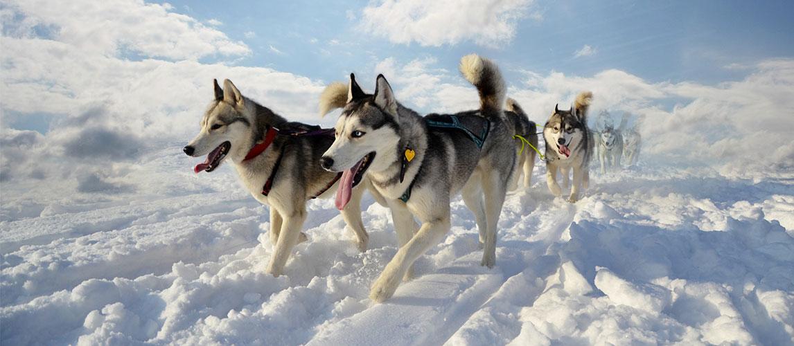 Best-Dog-Foods-for-Huskies-1