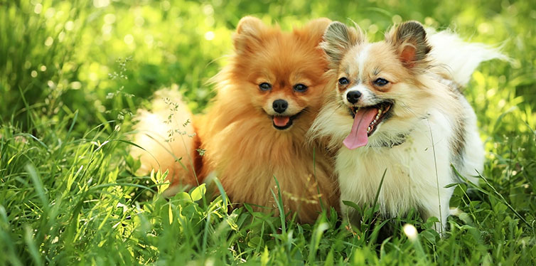 Cute fluffy dogs