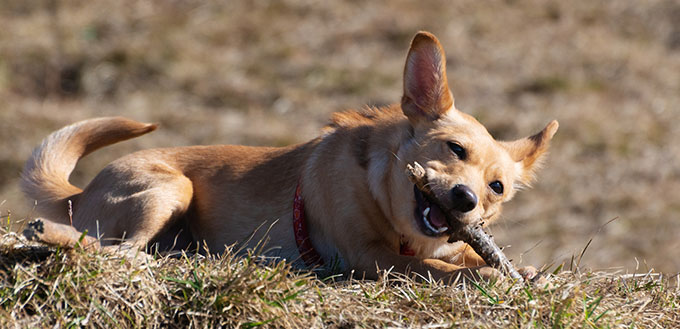 Dog chewing on a wooden stick