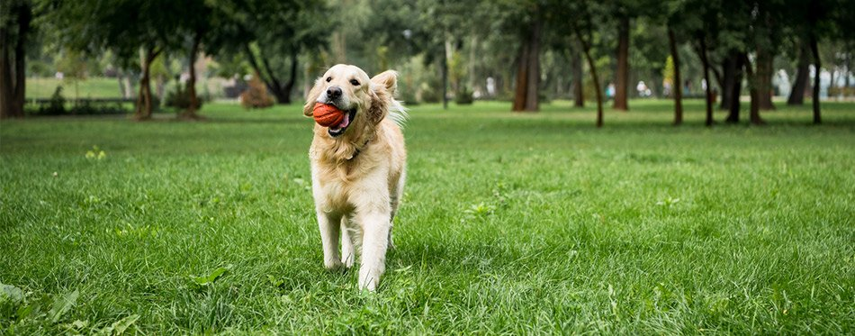 Golden Retriever dog playing with the ball