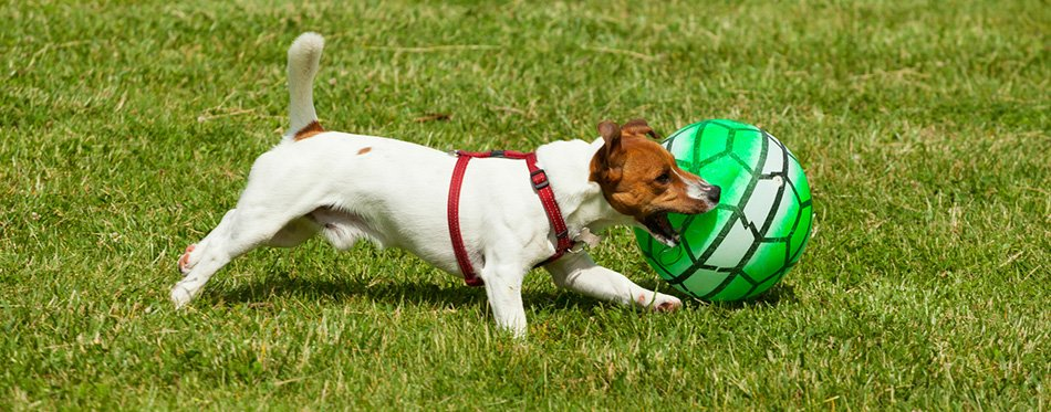 Jack Russell Terrier dog playing with herding ball