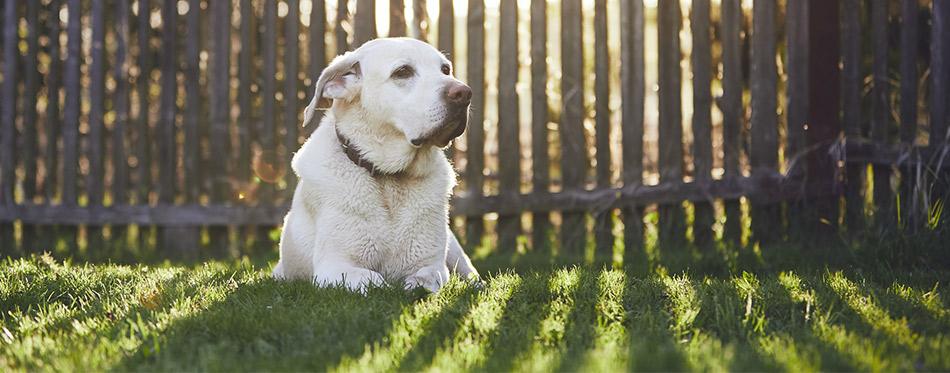 Labrador retriever lying on the grass