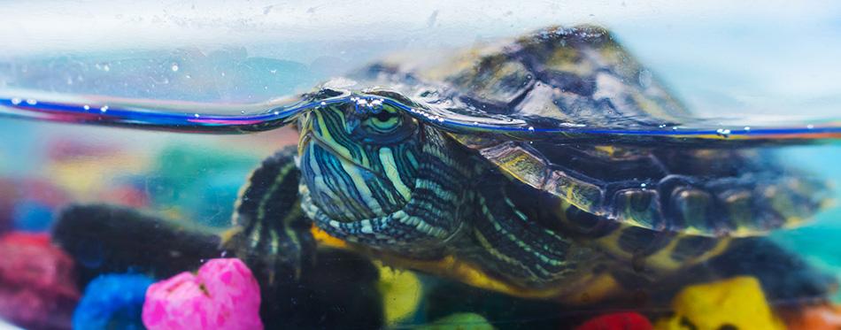 Little turtle in the aquarium