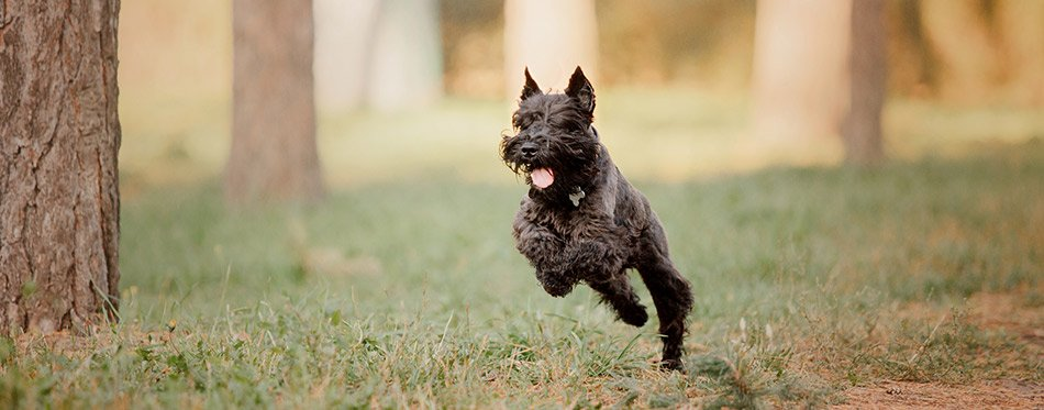 Miniature Schnauzer dog running