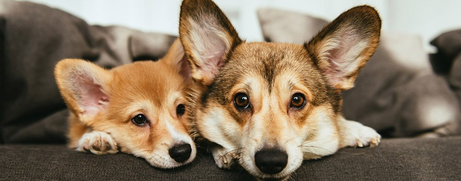 Portrait of two adorable welsh corgi dogs