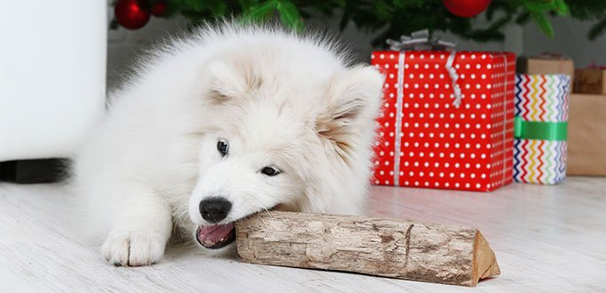 Samoyed dog with wood
