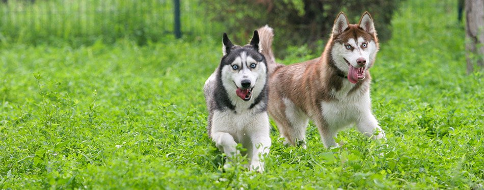 Siberian husky dogs playing on the grass