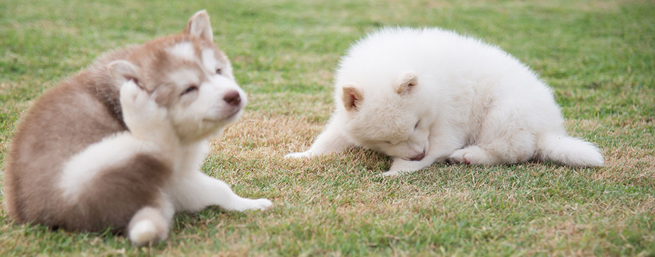 Siberian husky puppies scratching