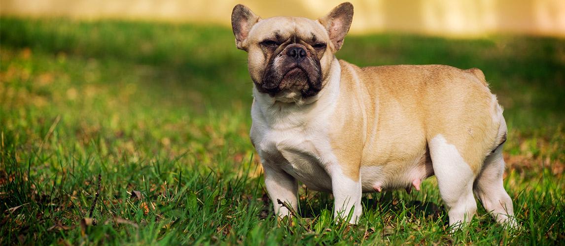 The-cute-French-Bulldog