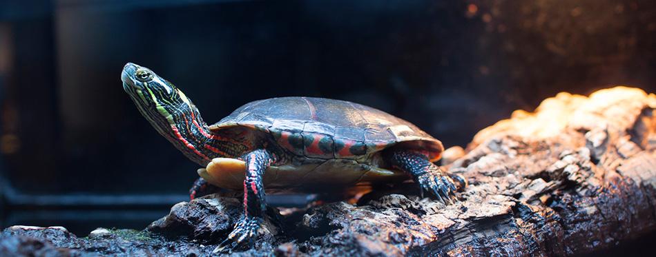 Turtle resting on log in tank