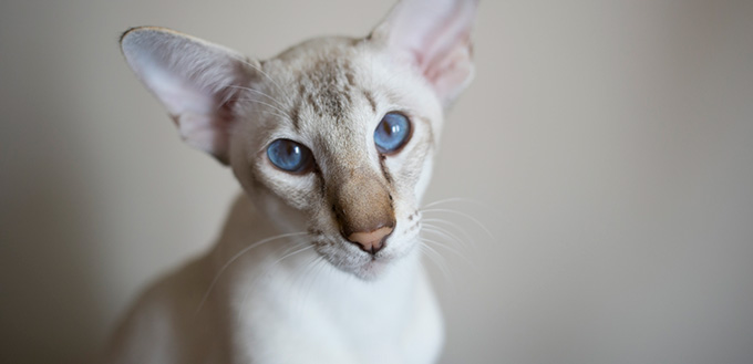 Young javanese cat looking in the camera