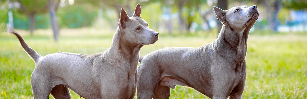 extinct dog breeds 15 unusual dogs breeds you never knew existed