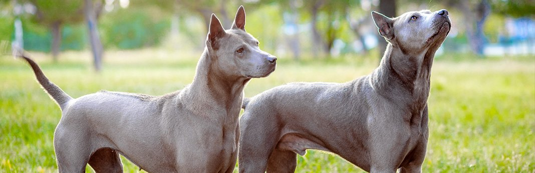 extinct-dog-breeds-15-unusual-dogs-breeds-you-never-knew-existed