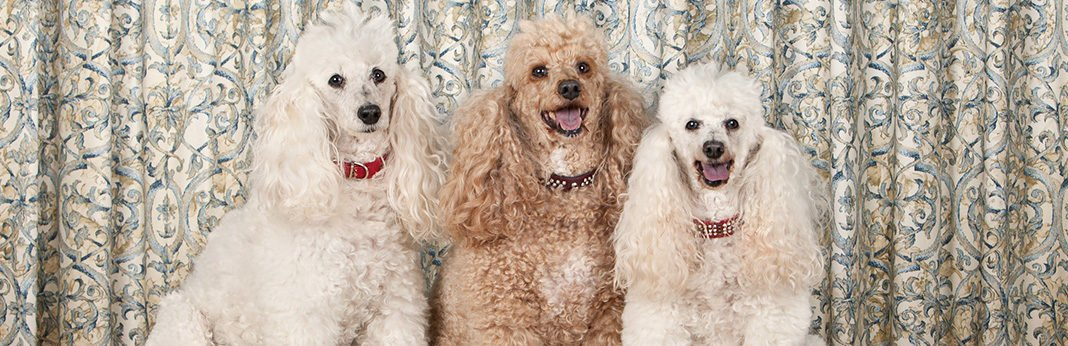 five types of poodles