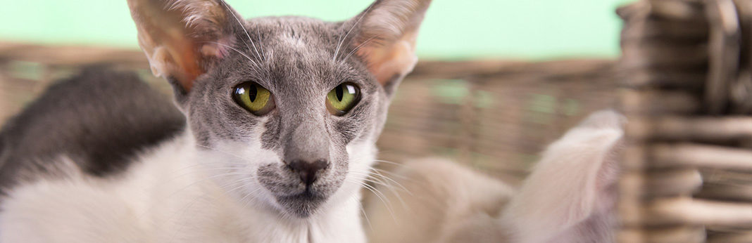 javanese cat cat breed information, characteristics and facts