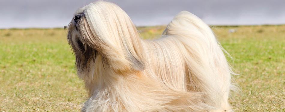 lhasa apso dog running