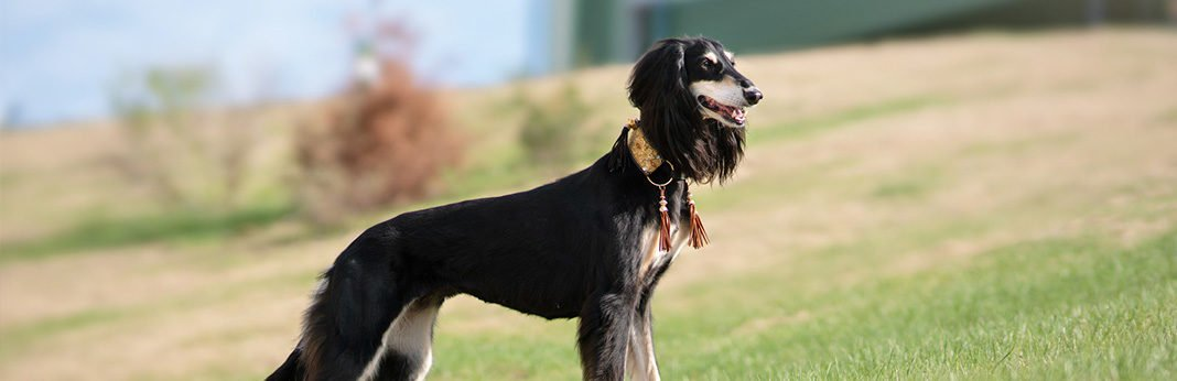 saluki dog breed characteristics, temperament, and care