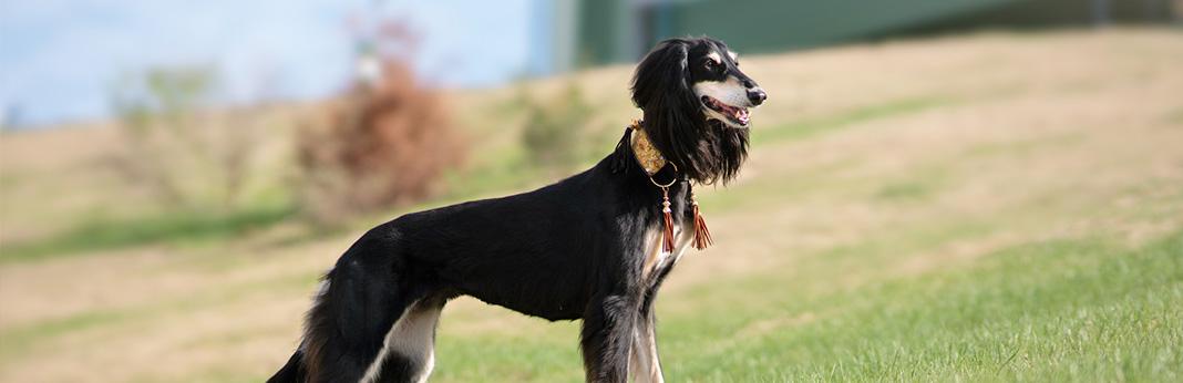 saluki dog breed characteristics, temperament, and care