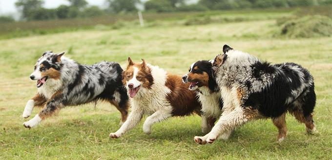 Australian Shepherd dogs running
