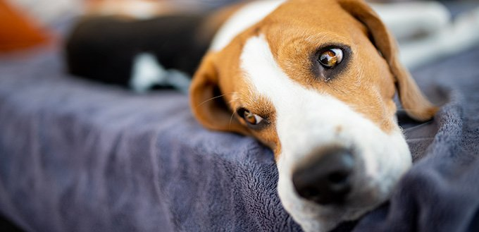Beagle dog lying on sofa