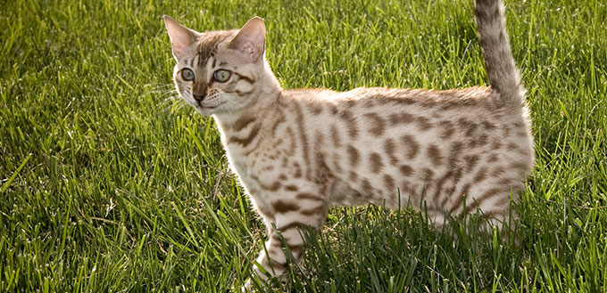 Bengal Kitten smiling
