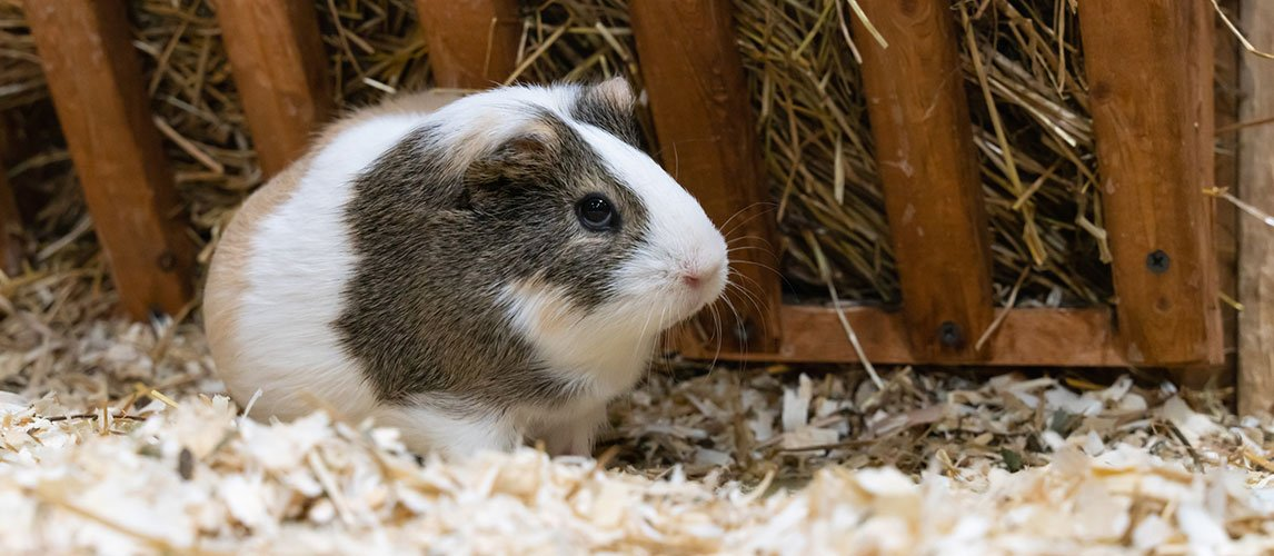 Best-Hay-for-Guinea-Pigs