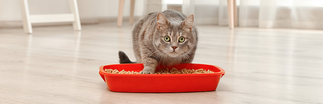 Cat Eating Litter: Causes & Solution