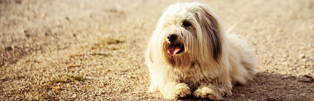 Coton de Tulear: Breed Information, Charatheristics, and Facts