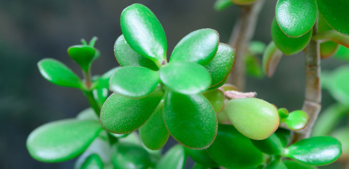 "Crassula Ovata, or ""Jade"""