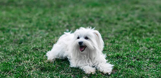 Cute Coton de Tulear sitting in grass
