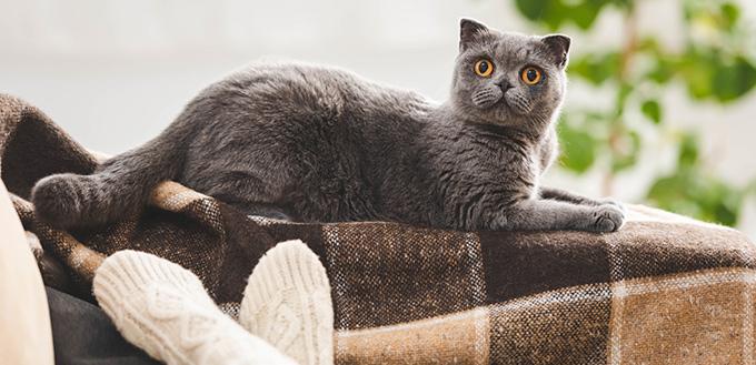 Cute scottish fold cat lying on blanket near woman on sofa