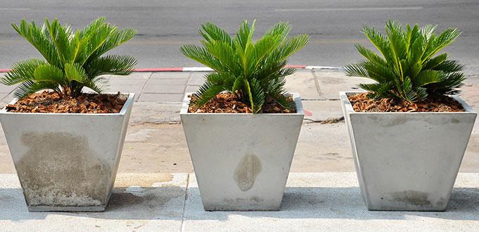 "Cycas Revoluta, or ""Sago Palm"""