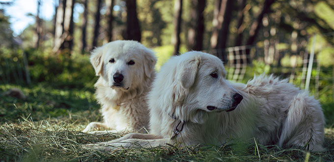 Great Pyrenees sheepdogs resting in a forest