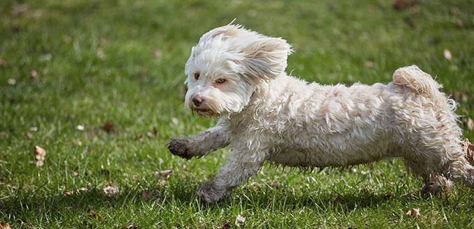 Havanese dog running in the park in springtime