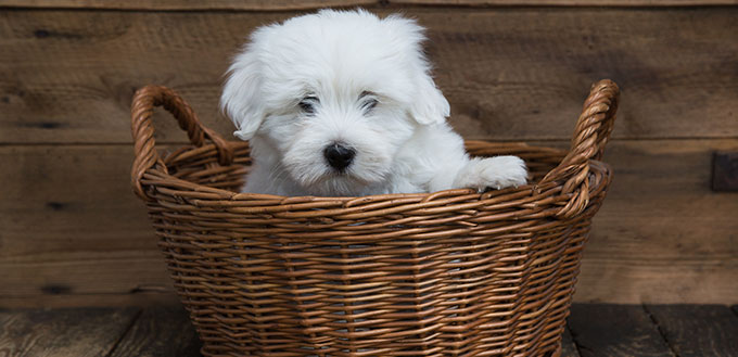 Portrait Cute little baby dog original Coton de Tulear