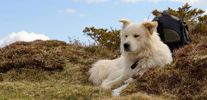 Pyrenean mountain dog lying
