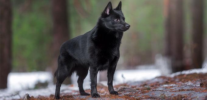 Schipperke dog in the forest
