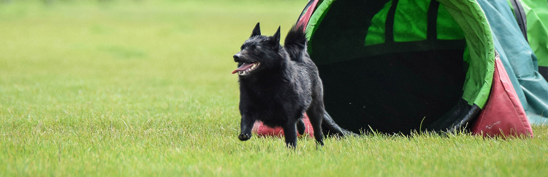 Schipperke: Breed Information, Characteristics, and Facts