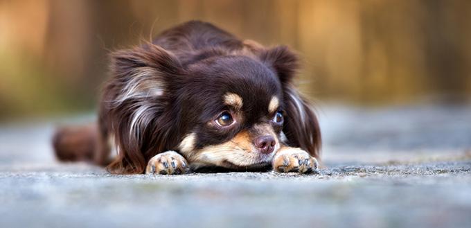 Shy chihuahua dog lying down outdoors