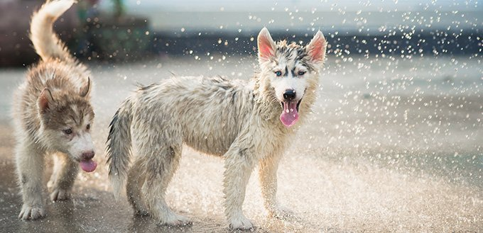 Siberian husky puppy shakes the water off its coat
