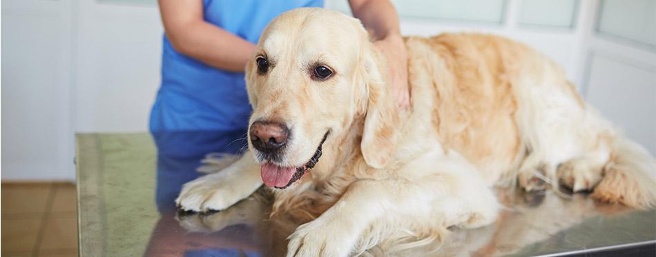 Sick dog in vet clinic