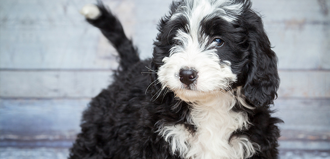 Sweet Adorable Bernedoddle Puppy
