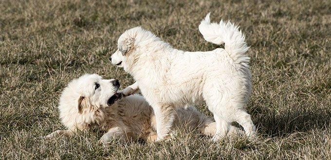 Two Great Pyrenees dogs playing