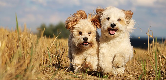 Two small dogs are running