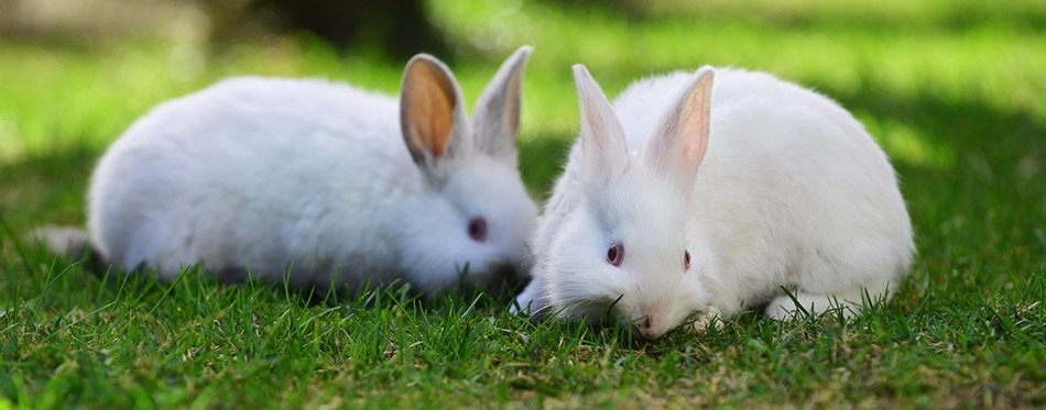 White rabbits in grass