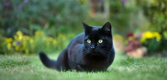 black cat on the grass in the back yard